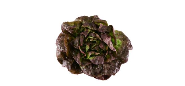 lattuga-trocadero